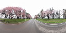 静内二十間道路の桜並木